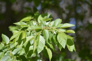 Leaves of the Siberian Elm look glossy in sunlight